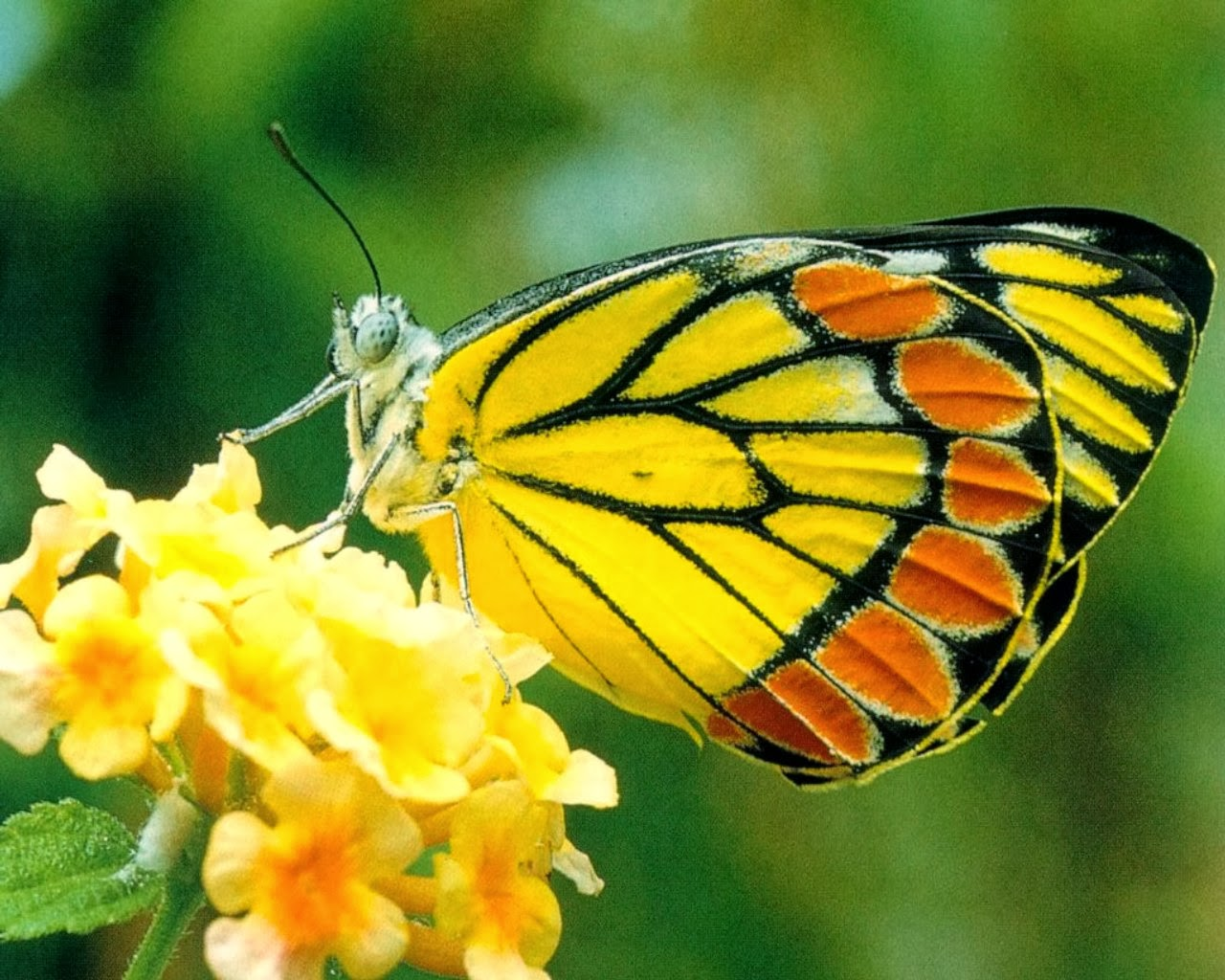 Yellow-butterfly20141